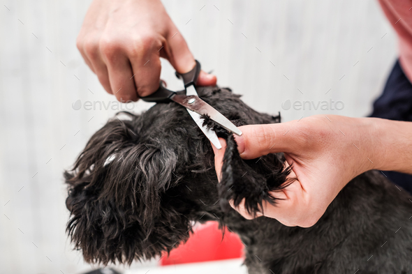 Shaving dogs face at home. Groomer cutting fur of small black schnauzer - Stock Photo - Images