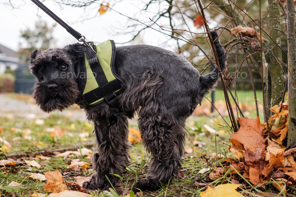 Urban hygiene. Small black schnauzer pooping on grass in park. - Stock Photo - Images