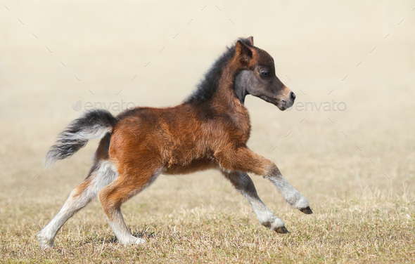 American miniature horse. Bay foal in motion. - Stock Photo - Images