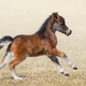 American miniature horse. Bay foal in motion. - PhotoDune Item for Sale