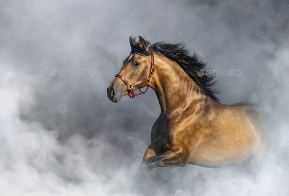 Andalusian horse in halter in light smoke with space for text. - Stock Photo - Images