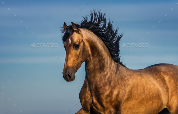 Portrait of light bay Andalusian horse. - Stock Photo - Images