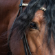 Close up image of eye, head and neck of Andalusian horse. - PhotoDune Item for Sale