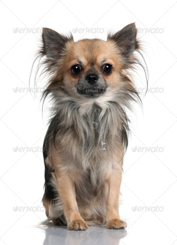 Long-haired Chihuahua, 2 years old, sitting in front of white background - Stock Photo - Images