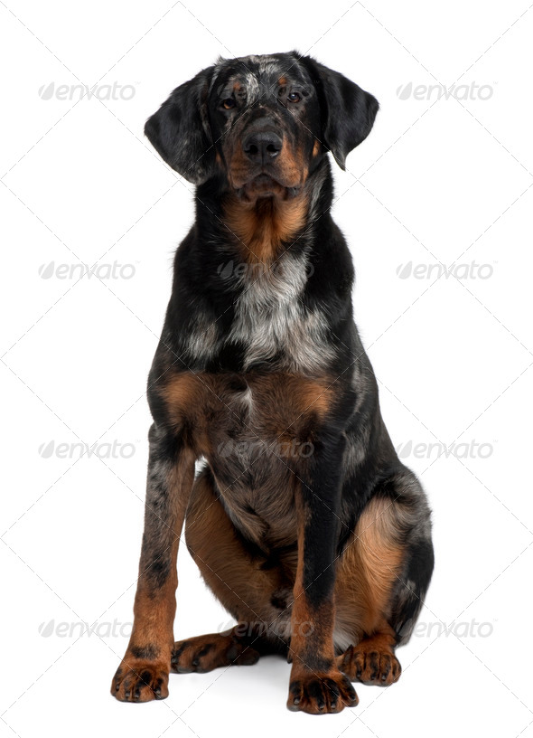 Beauceron, 7 Months old, sitting in front of white background - Stock Photo - Images