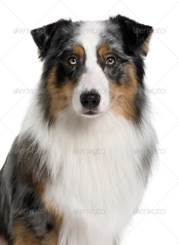 Australian Shepherd dog, 3 years old, in front of white background - Stock Photo - Images