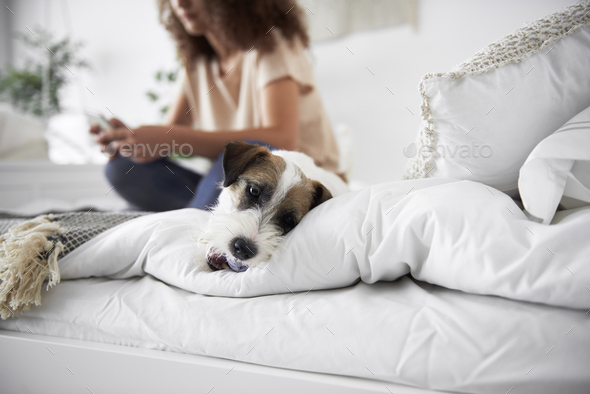 Shot of cute dog in bed - Stock Photo - Images