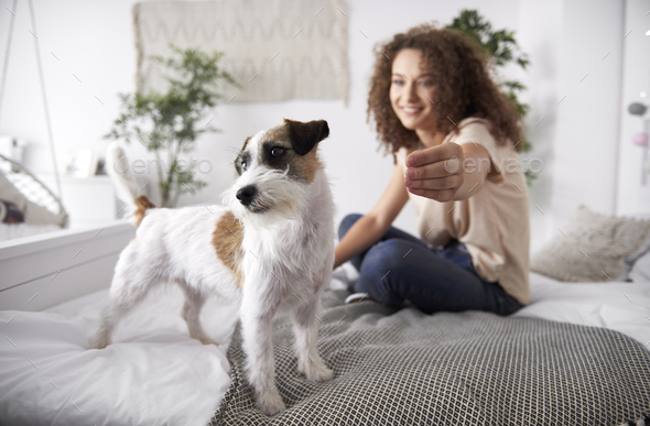 Cute dog on the bed in bedroom - Stock Photo - Images