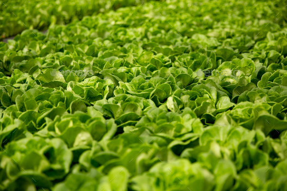 Close up of fresh salad plantation in modern greenhouse - Stock Photo - Images