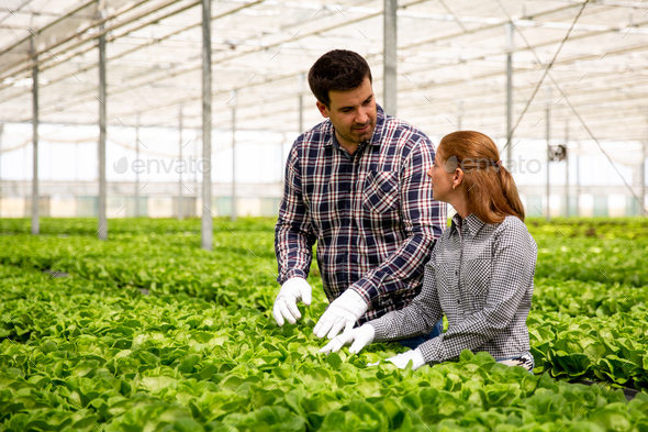 Two agronomist engineers discuss the salad plantation - Stock Photo - Images