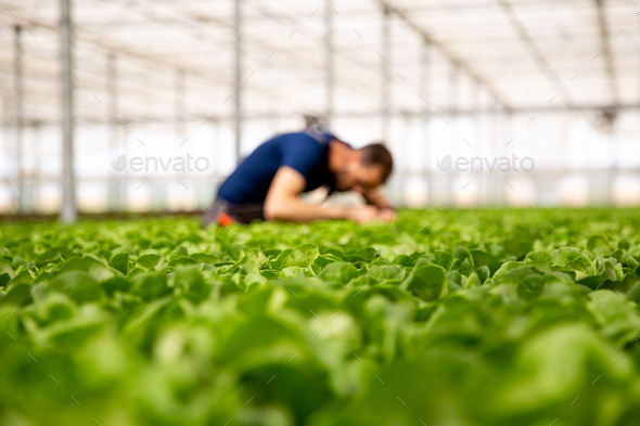 Worker in a modern greenhouse looking at salad crop - Stock Photo - Images
