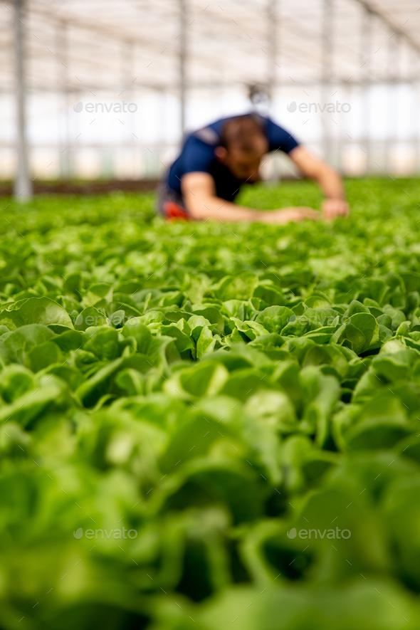 Worker analyzing salad plants in the background - Stock Photo - Images