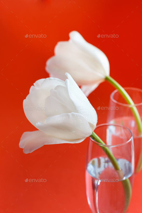 White Tulips on a red background - Stock Photo - Images