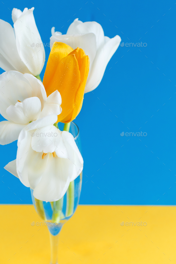 White and yellow Tulips on a blue and yellow background - Stock Photo - Images