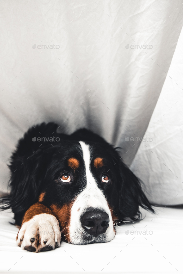Bernese Mountain Dog in white bed. Lying on a clean bed - Stock Photo - Images
