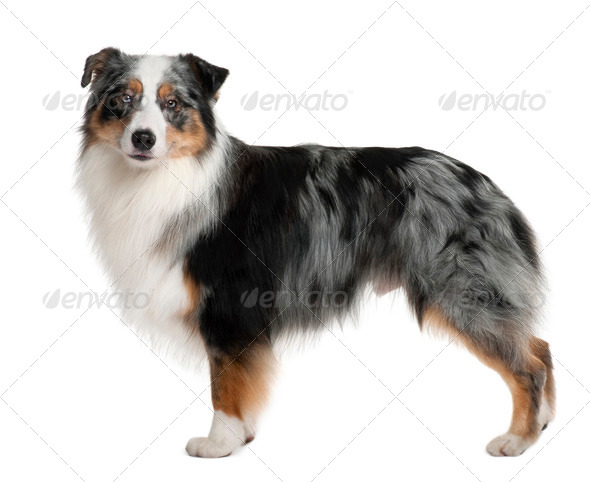 Australian Shepherd dog, 3 years old, standing in front of white background - Stock Photo - Images