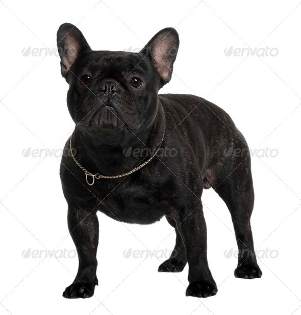 French Bulldog, 2 Years old, standing in front of white background - Stock Photo - Images