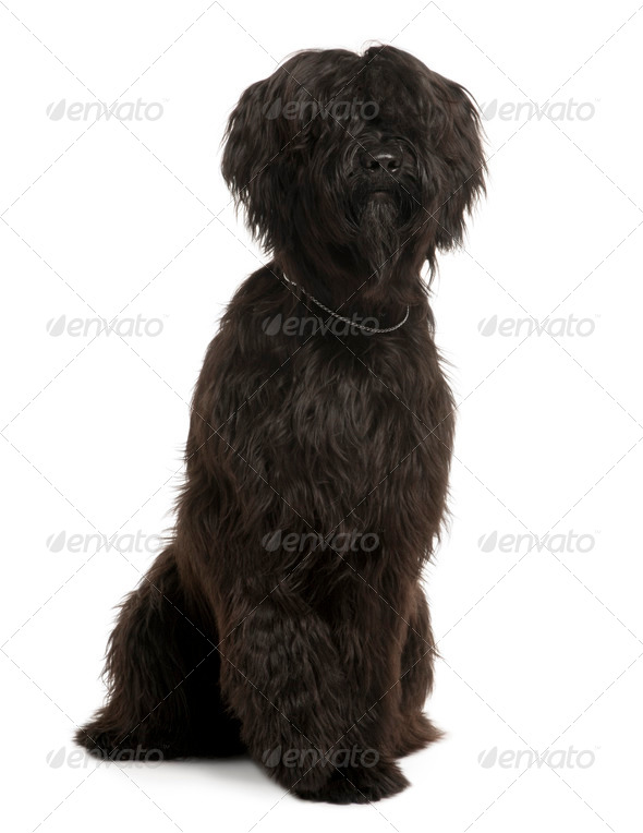 Briard, 9 Months Old, sitting in front of white background - Stock Photo - Images