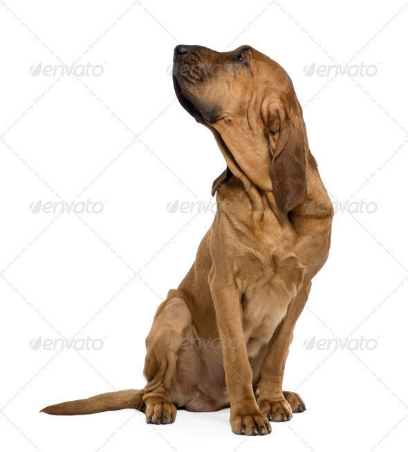 Saint-Hubert dog, 1 year old, sitting in front of white background - Stock Photo - Images