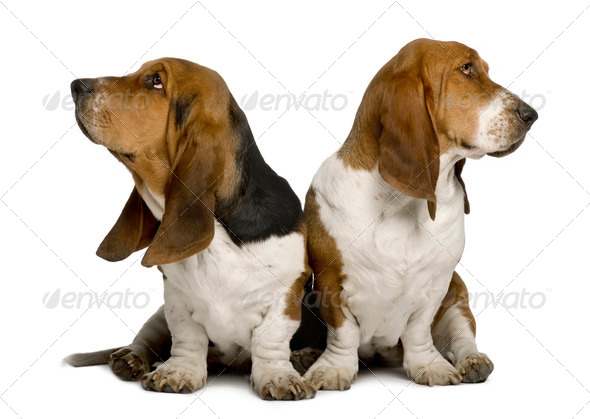 Two sulking Basset Hounds - Stock Photo - Images