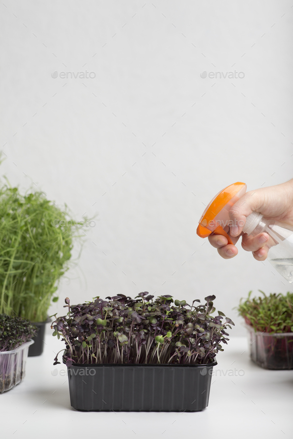 Female hand with spray watering microgreens over gray - Stock Photo - Images