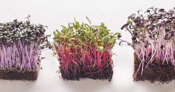 Three type of microgreens on white background - Stock Photo - Images