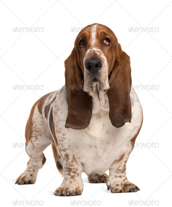 Basset Hound, 4 years old, standing in front of white background - Stock Photo - Images
