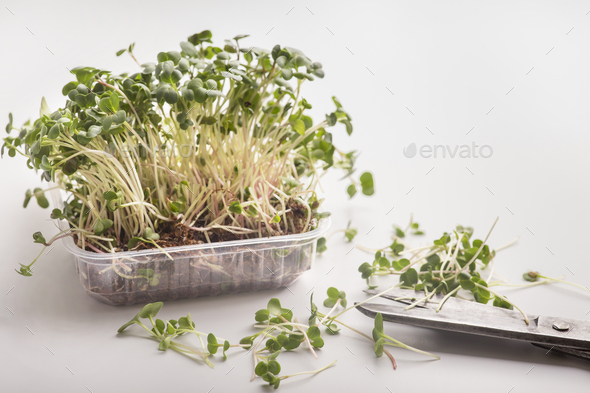 Cutting seedlings from pot with microgreens on white - Stock Photo - Images