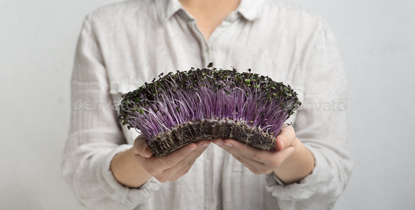Woman holding sprouted purple microgreens in hands on gray - Stock Photo - Images