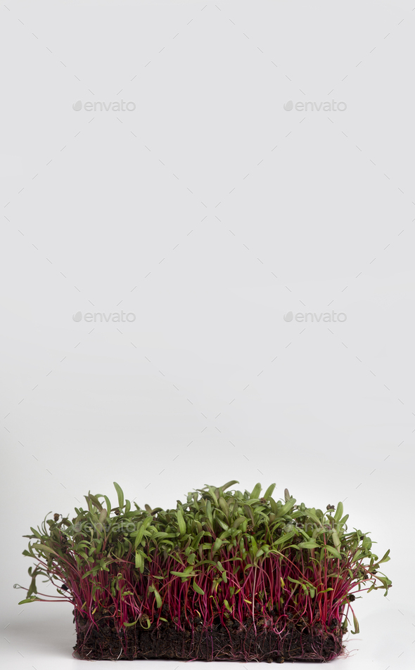 Bright sprouted seeds on white background, copy space - Stock Photo - Images