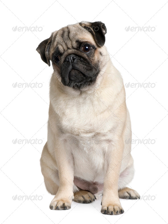 Young Pug puppy, 6 months old, sitting in front of white background - Stock Photo - Images