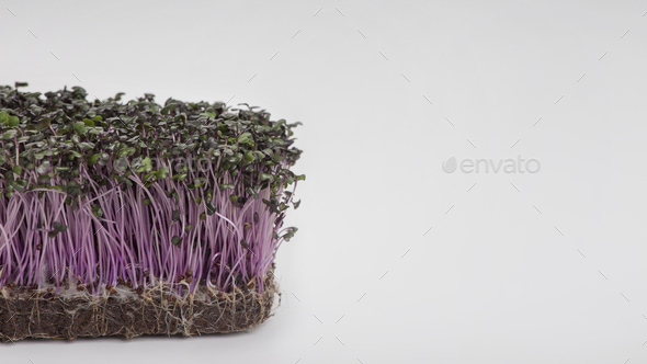 Purple Sprouted seeds isolated on white background - Stock Photo - Images