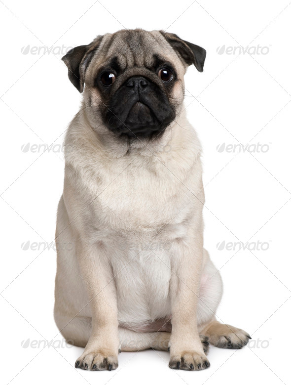 Young Pug, 6 months old, sitting in front of white background - Stock Photo - Images