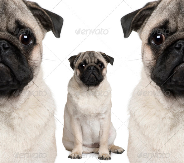 Portrait of three pug dogs sitting in front of white background - Stock Photo - Images
