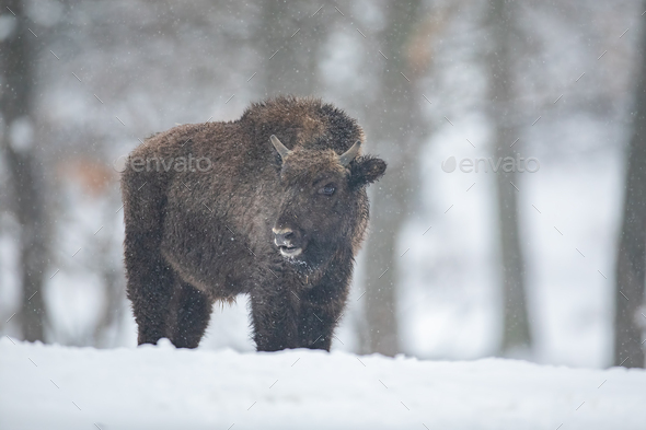 European bison, bison bonasus, in the forest with snow - Stock Photo - Images