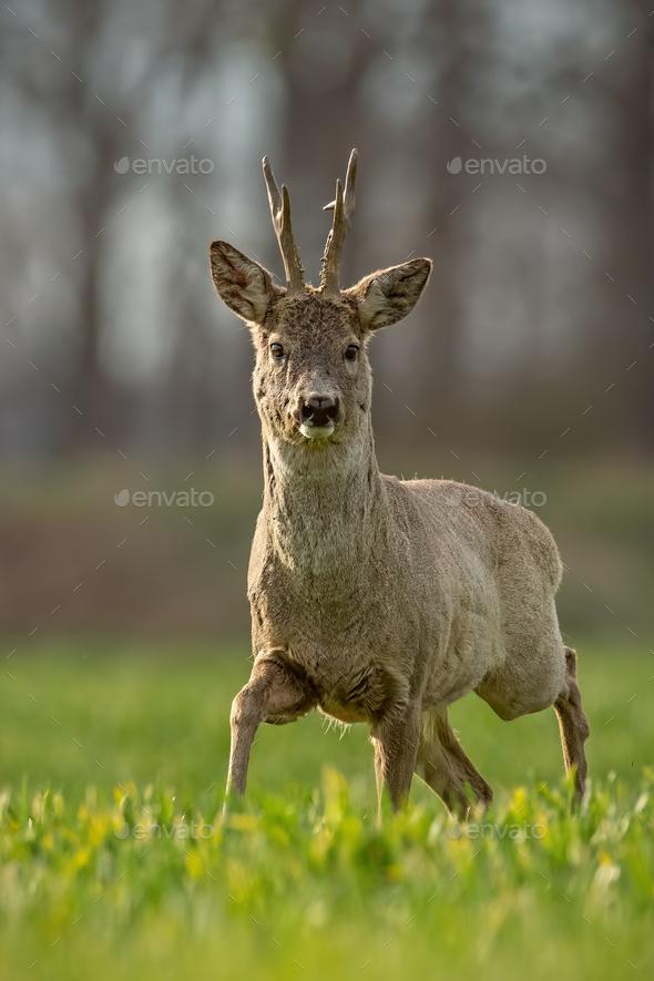 Roe deer, capreolus capreolus, buck in spring walking on a filed - Stock Photo - Images