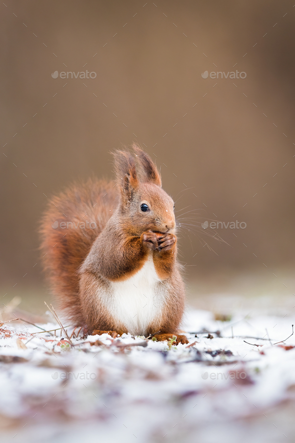 Vertical portrait of red squirrel in winter with copy space - Stock Photo - Images