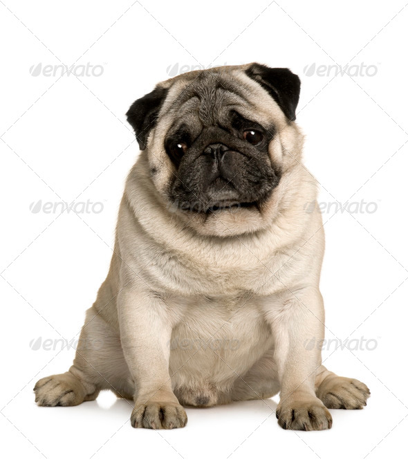 Pug, 4 years old, sitting in front of white background - Stock Photo - Images