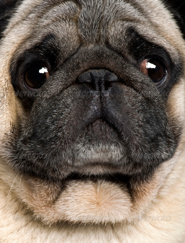 Close-up of Pug, 4 years old - Stock Photo - Images