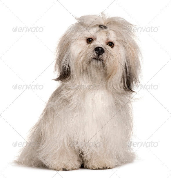 Lhasa Apso, 1 year old, sitting in front of white background - Stock Photo - Images