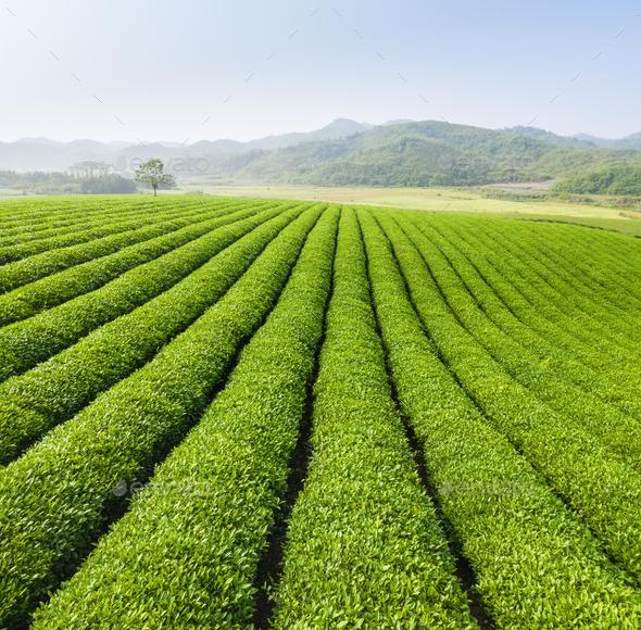 green tea plantation landscape - Stock Photo - Images