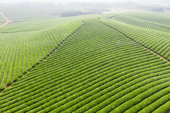 aerial view of tea plantation - Stock Photo - Images
