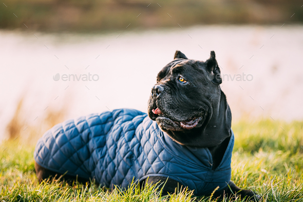 Black Cane Corso Dog Sitting In Grass. Dog Wears In Warm Clothes. Big Dog Breeds - Stock Photo - Images