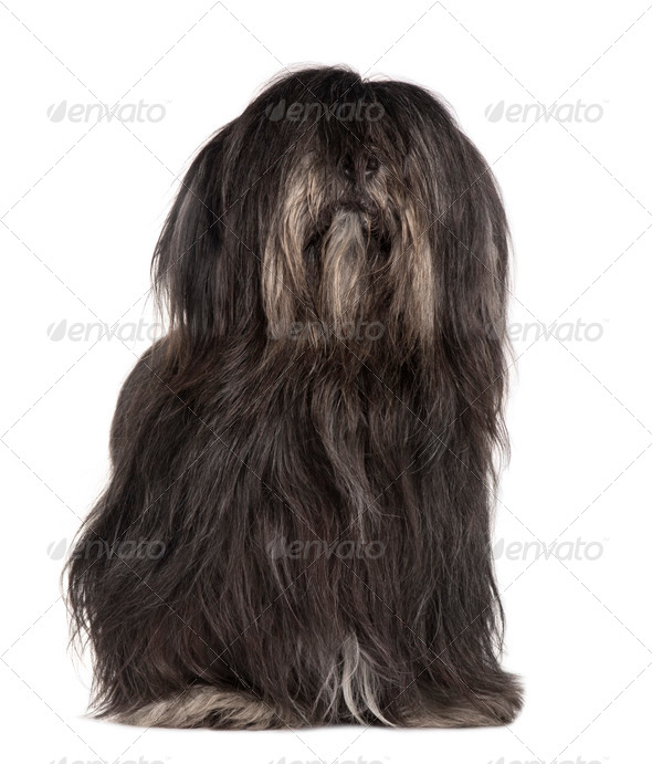 Lhasa Apso, 3 years old, sitting in front of white background - Stock Photo - Images
