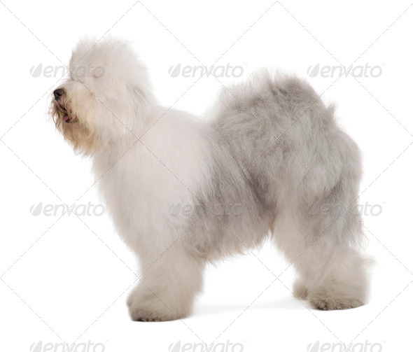 English Sheepdog, 1 year old, standing in front of white background - Stock Photo - Images