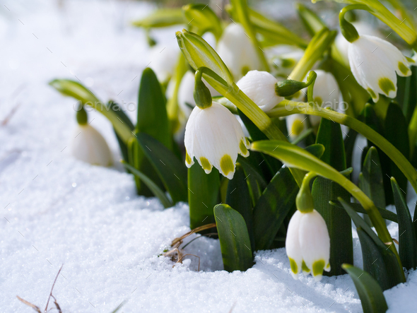Snowdrop with blossom - Stock Photo - Images