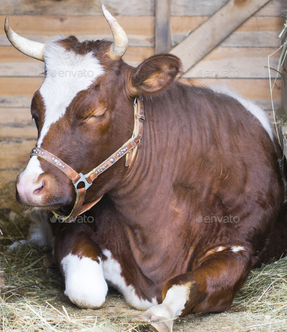 Cow laying down in straw and sleep - Stock Photo - Images