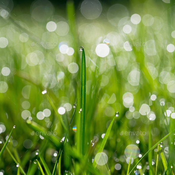 Fresh green grass with water drops on background of sunlight. - Stock Photo - Images