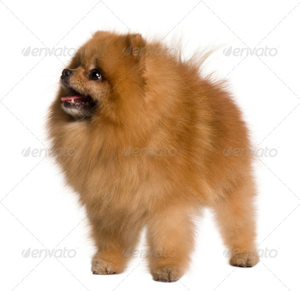 Pomeranian dog, 4 years old, standing in front of white background - Stock Photo - Images