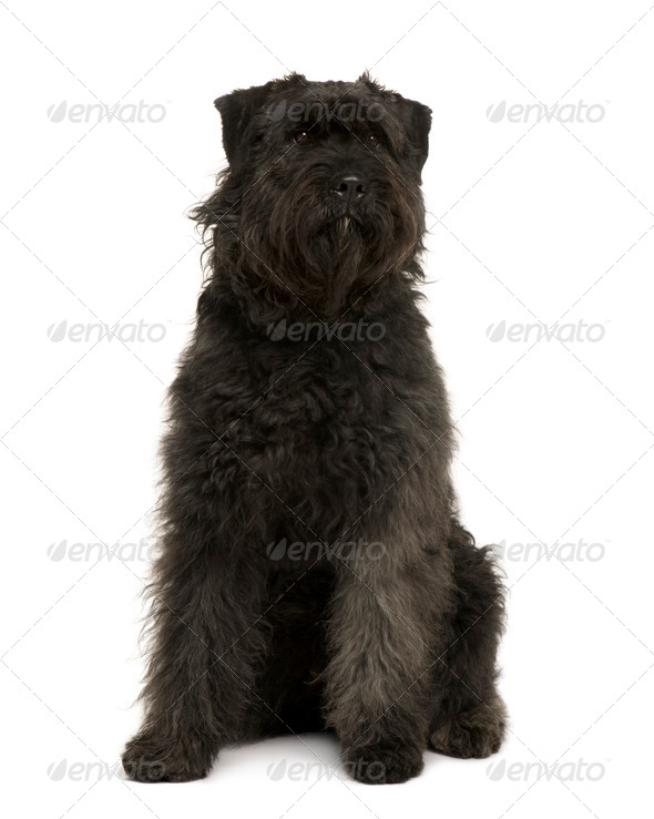 Bouvier des Ardennes dog, 1 year old, sitting in front of white background - Stock Photo - Images